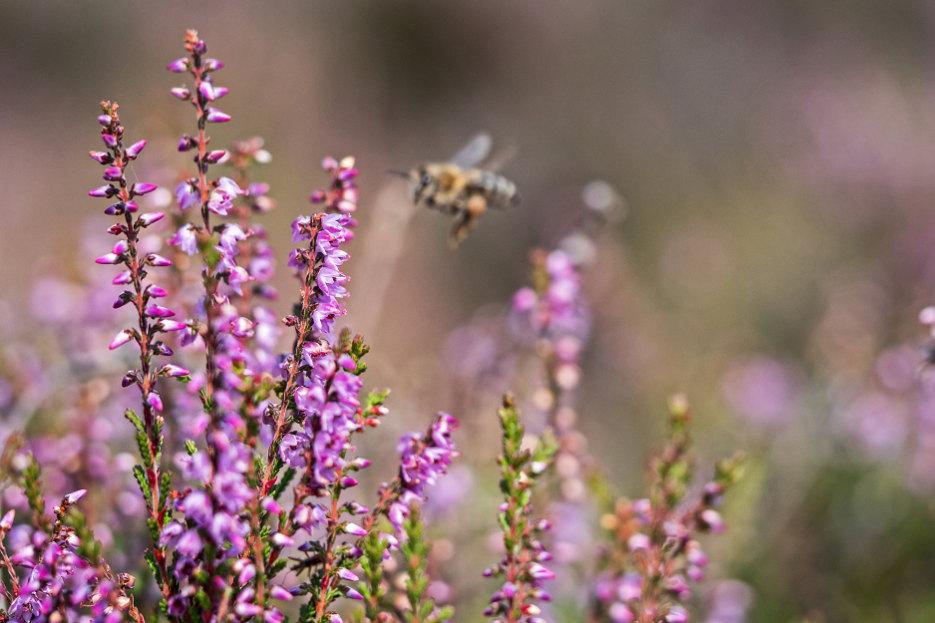 Biene fliegt zu lila blühenden Besenheiden