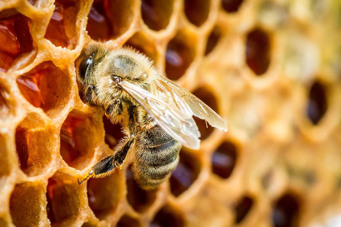 Nahhaufnahme einer Biene auf einer Bienenwabe