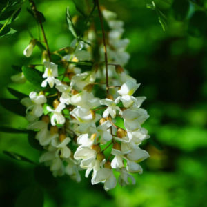 The Robinia – tree of the year 2020