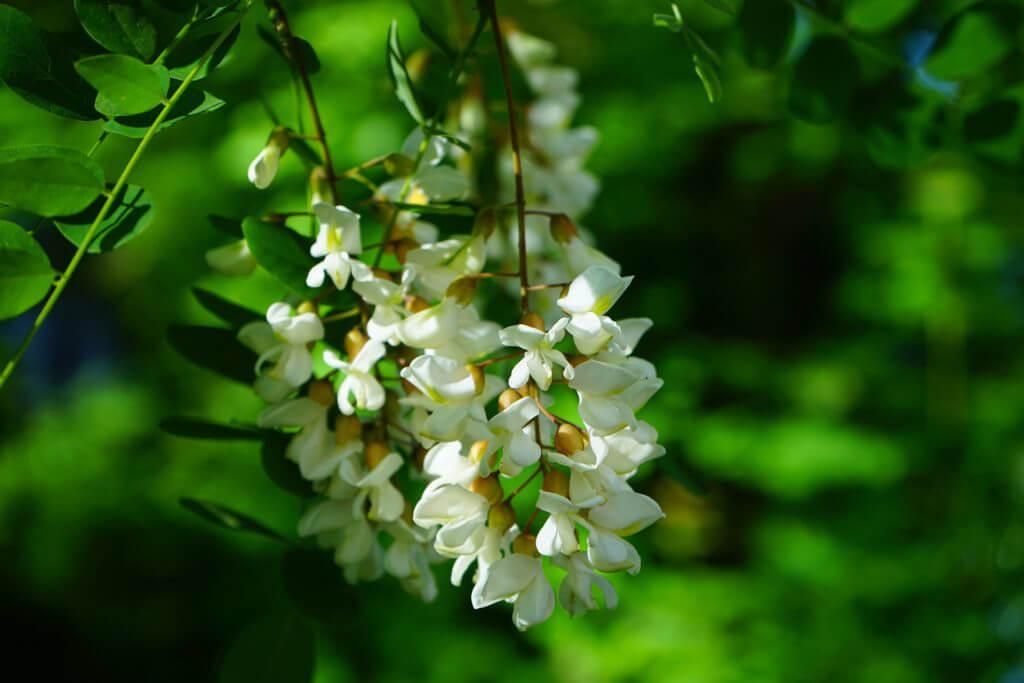 Weiße Blüten an einem Robinienast